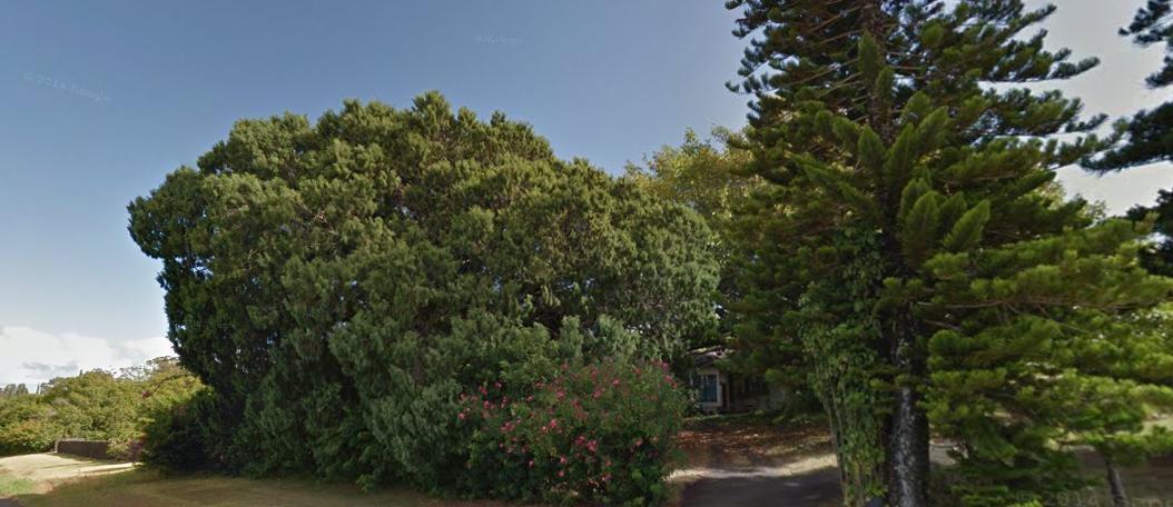 Bermuda juniper tree